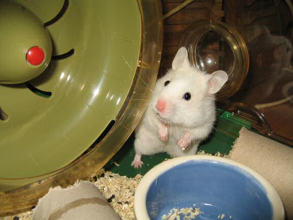 Picture of my hamster Lucy, beside her treadmill.